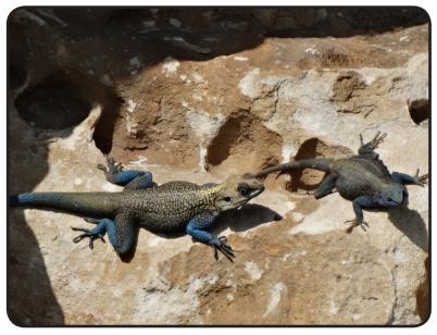 Dori lizard