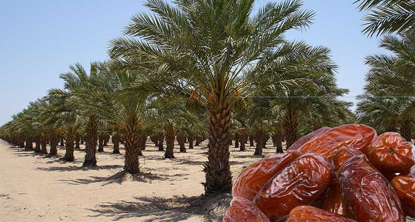 Eritrea and date palm cultivation for export