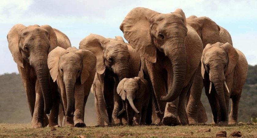 Eritrea Joins the Elephant Protection Initiative