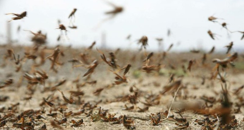 Desert Locust Outbreak Worsens in Ethiopia