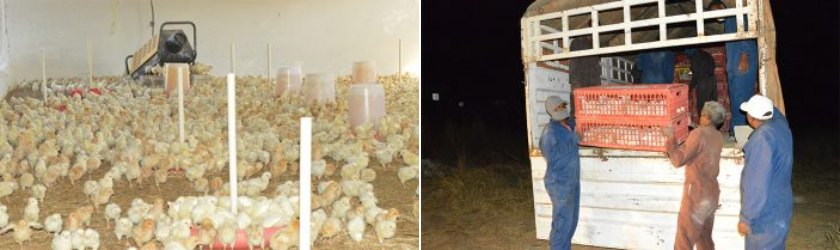 chick distribution